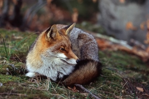 Volpe (Vulpes vulpes) P.N. Foreste Casentinesi